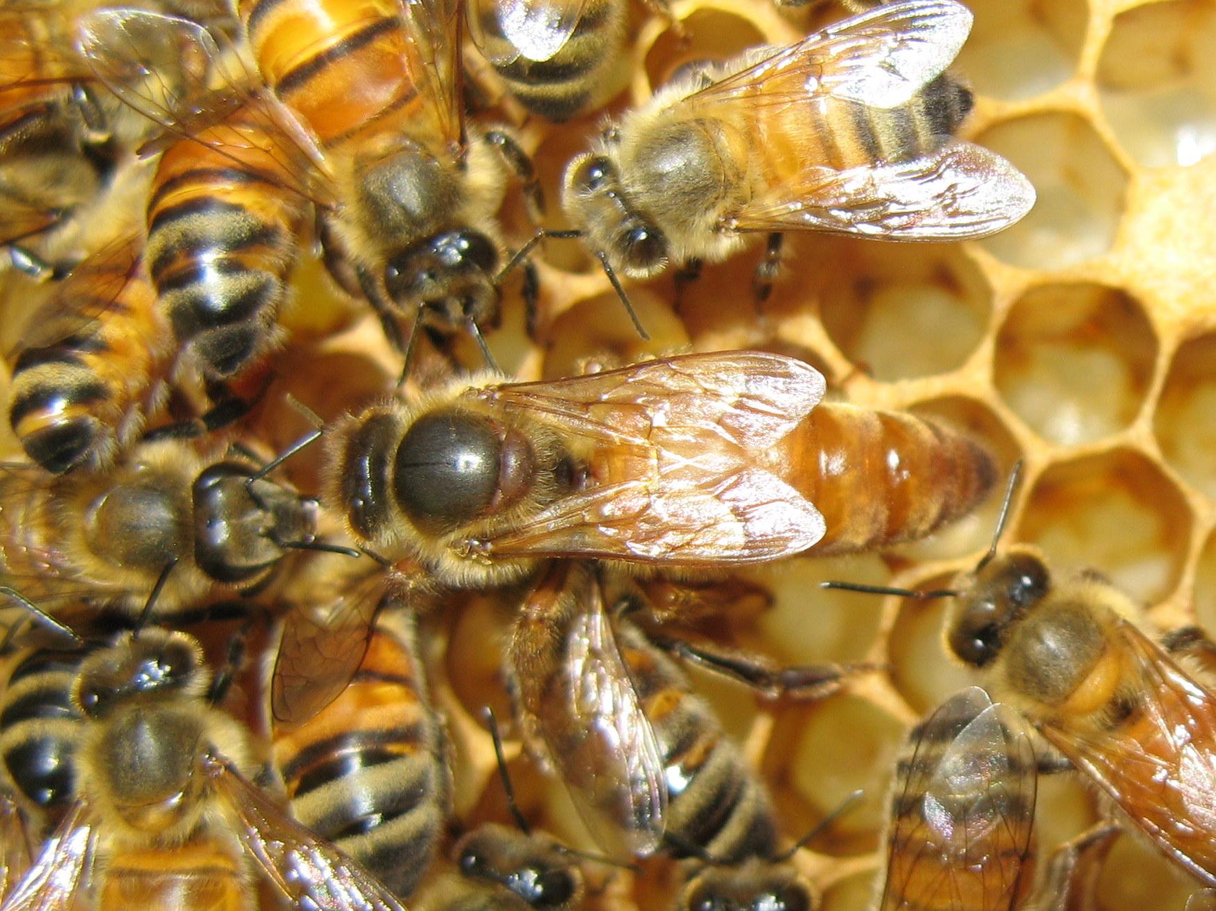 Queen-Bee-On-Comb-LR